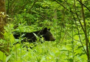 Watch, don't feed, bears in the Smoky Mountains