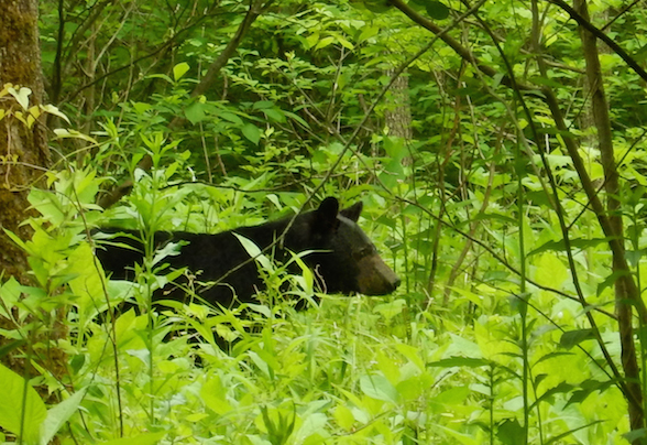 Watch, but don't feed the bears in the Smoky Mountains
