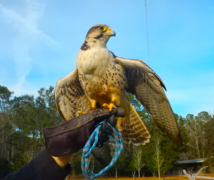 Soaring on the Wings of Eagles in South Carolina
